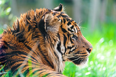 [Free Images] Animals 1, Tigers ID:201206071000