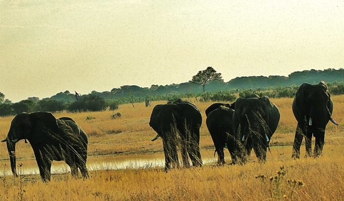 Elephants at a Waterhole by CharlesRay2010