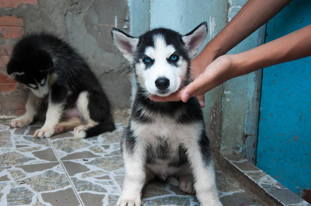 Bán chó Husky mắt xanh 6tr tuyệt đẹp - 9