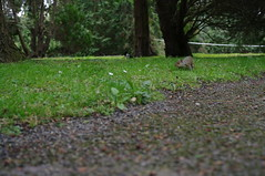 squirrel! in Dublin Botanical Gardens