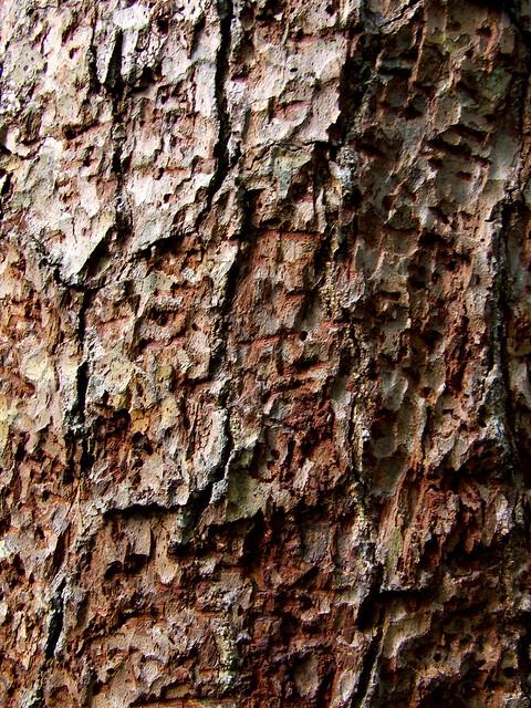 hemlock under-bark