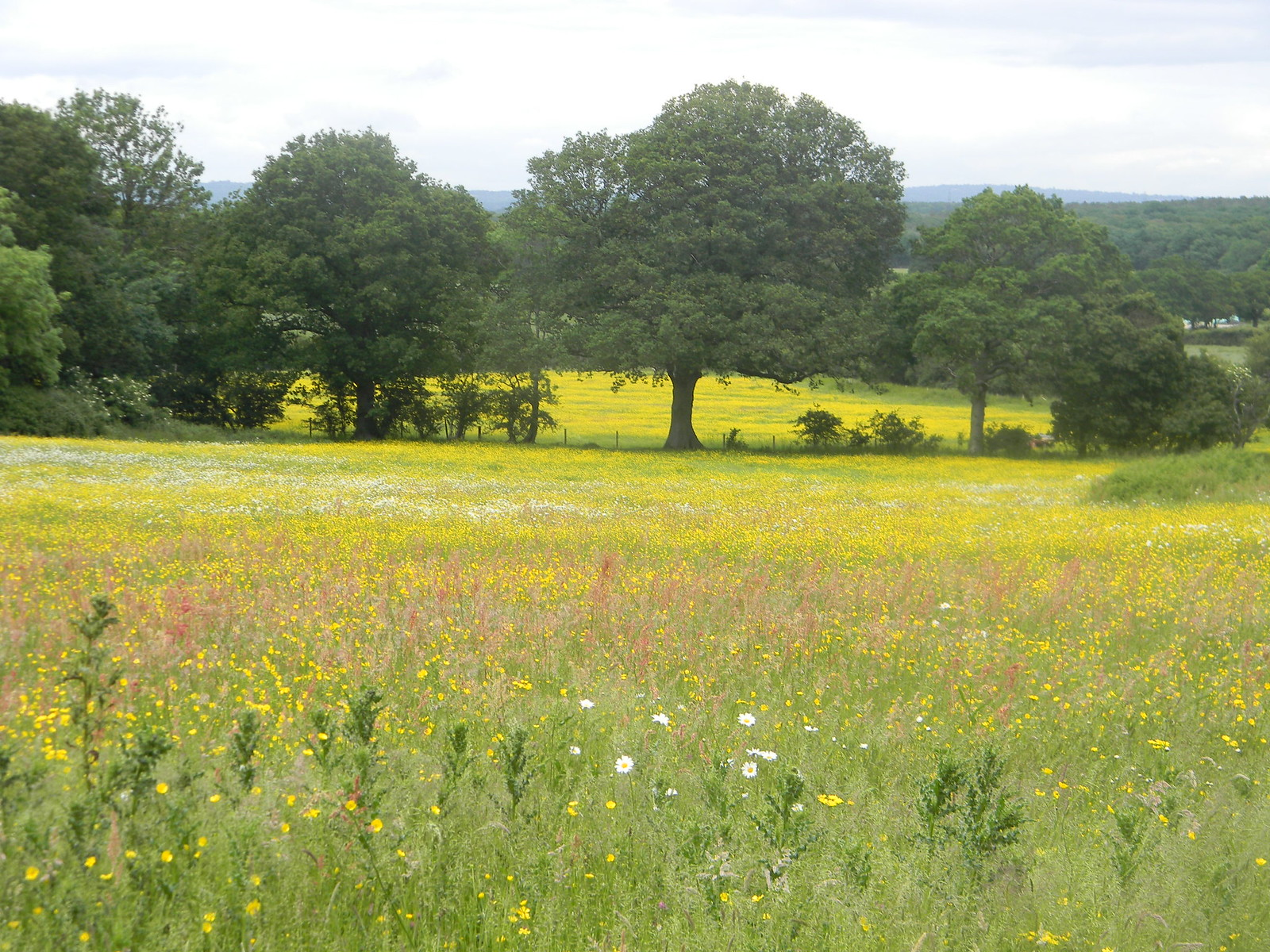 Flower meadow near Little Norlington Uckfield to Lewes