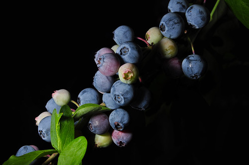 The Blueberry Bush