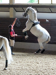 english riding(0.0), pony(0.0), animal sports(1.0), equestrianism(1.0), mare(1.0), stallion(1.0), equestrian sport(1.0), halter(1.0), horse(1.0),