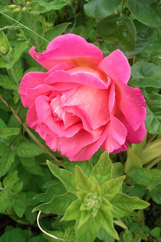 beautifull english rose by woolgenie