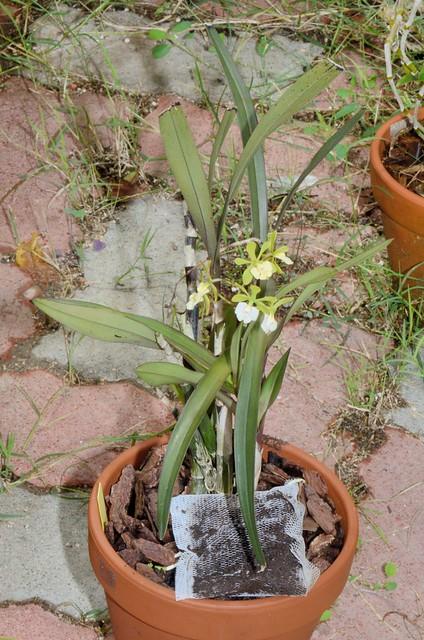 紅甘蔗樹蘭的花朵