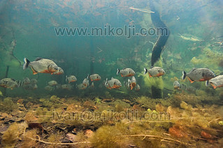 Stock Photo Pygocentrus cariba Red-bellied piranhas Images DSC00641