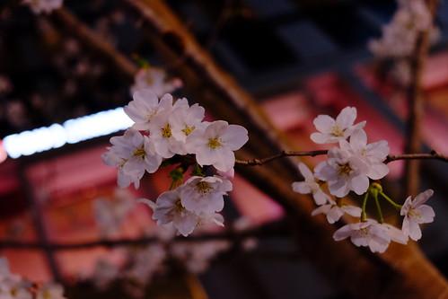 Nihonbashi Sakura festival 13 cherry blossoms