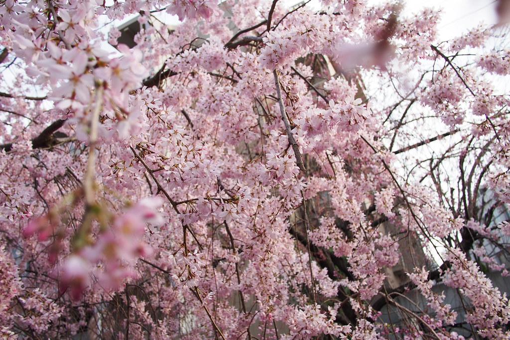 Sakura 2014 at Takatsu