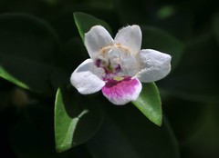flower, flora, moth orchid, close-up, petal,