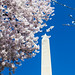 Washington Monument and peak cherry blossoms