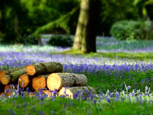 flowers bluebells norfolk arboretum lynford