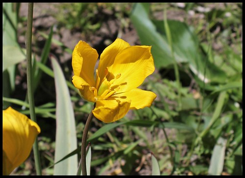 Tulipa sylvestris (2)