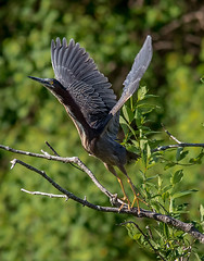 green heron liftoff