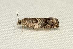 Epinotia albangulana - Hodges # 3308