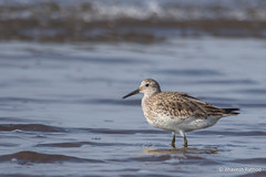 Great Knot