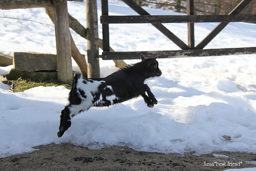 Oswald Junior, the flying goat ;-)