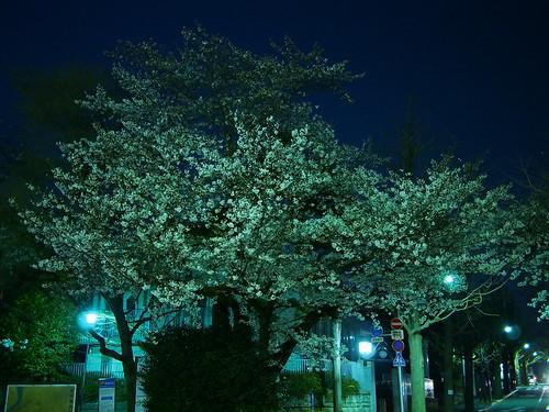 桜 2012 田園調布 - 夜桜