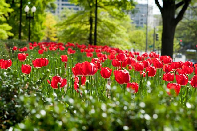 028 Tulips