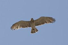 Aguila culebrera - Short-toed Eagle - Circaetus gallicus