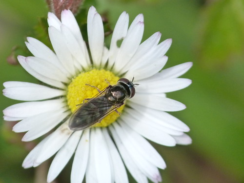 Hoverfly: Platycheirus albimanus by Peter Orchard