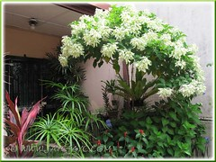 Focus on the White Mussaenda Tree at our inner garden border, illuminating the whole area - April 28 2012
