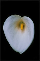 - with no name...( Calla Lily )