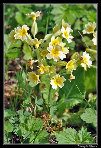 Primevère élevée (Primula eliator)