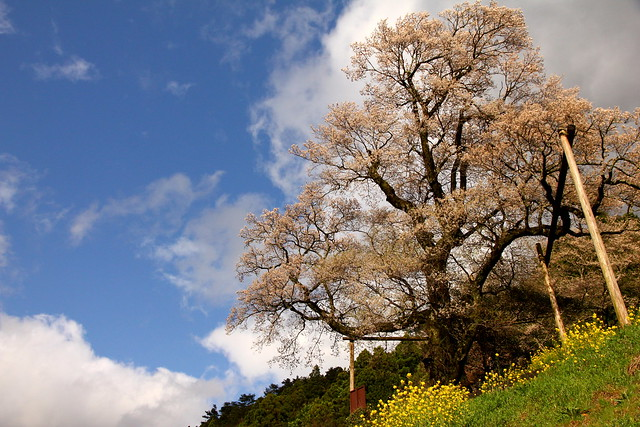 Hyotan Sakura_05