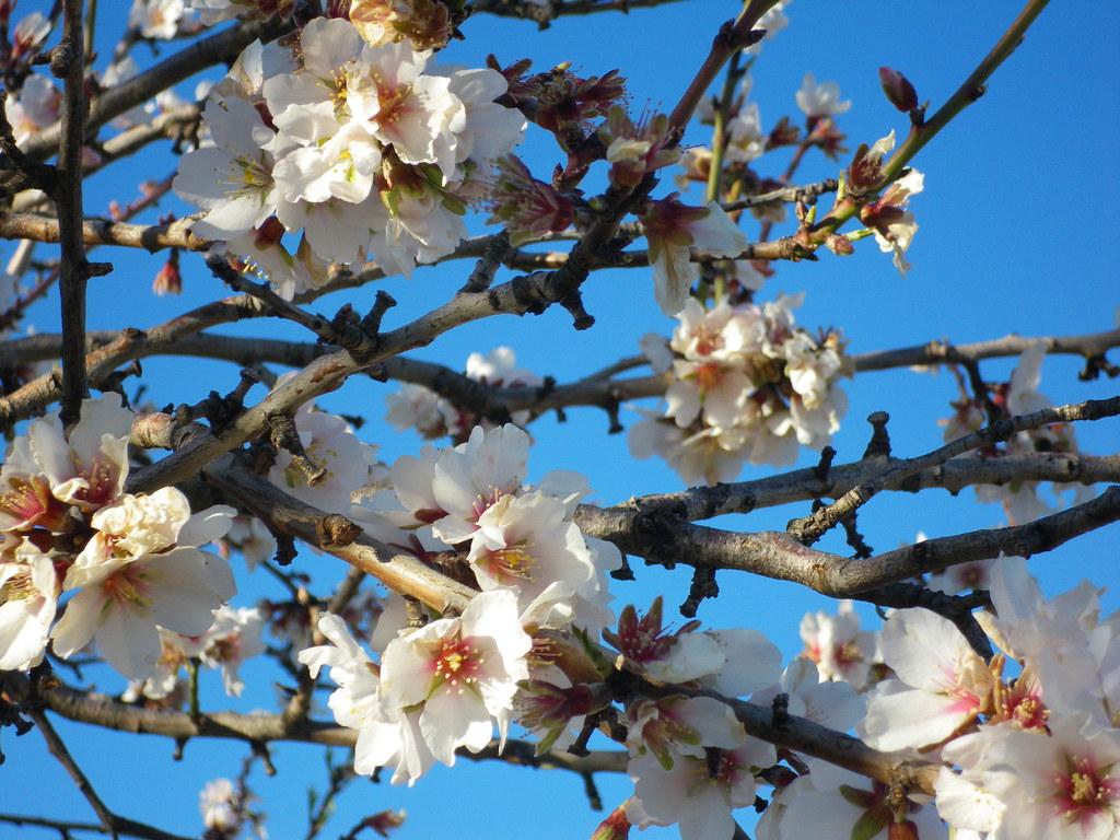 Flor de almendro sobre cielo azul