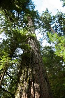 Largest Tree