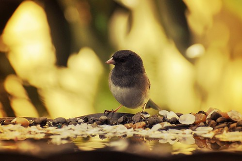 Dark-eyed Junco I