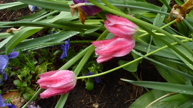 Trois tulipes avec gouttes de pluie