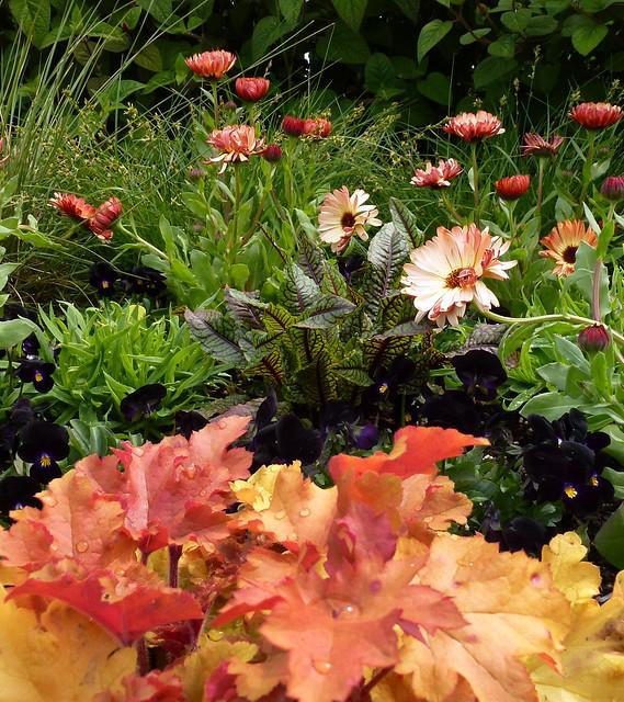 Calendula  Bronzed Beaury Viola Bowles Black 7 Heuchera Marmalade nn