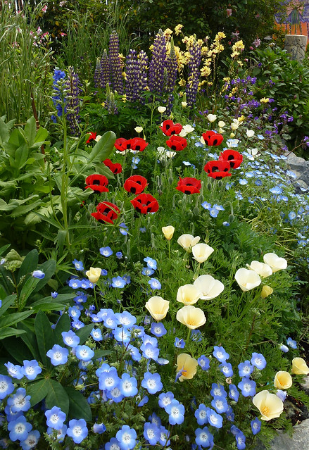 Papaver commutatum , White Cal Poppy & Nemophila 04-12 c GOOD