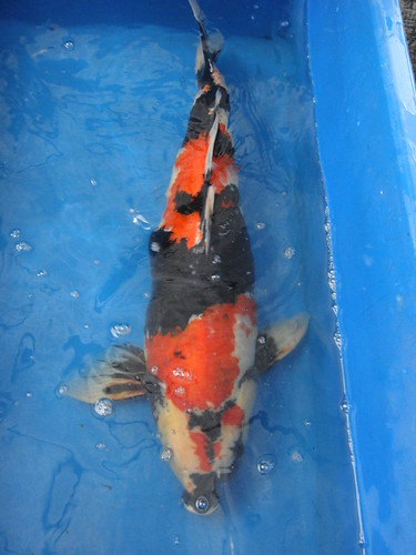 Koi for sale s 39 pore koi answers all your questions for Koi dealers near me