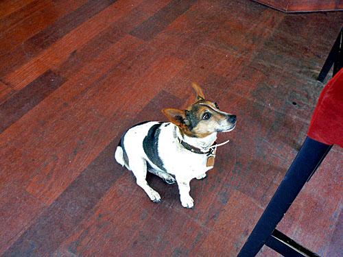 petit chien anglais.jpg