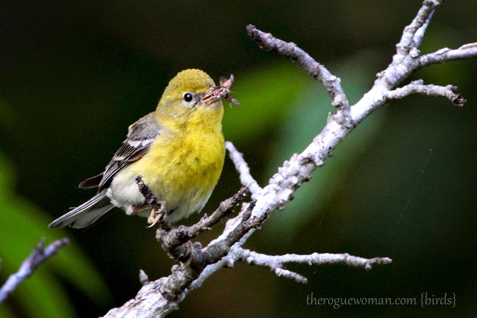 053012_02_bird_pineWarbler