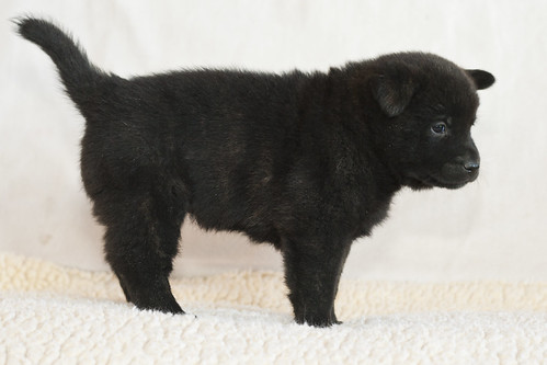 Kumi-Second-Litter-Pup1-Female(Mika)-Day30c