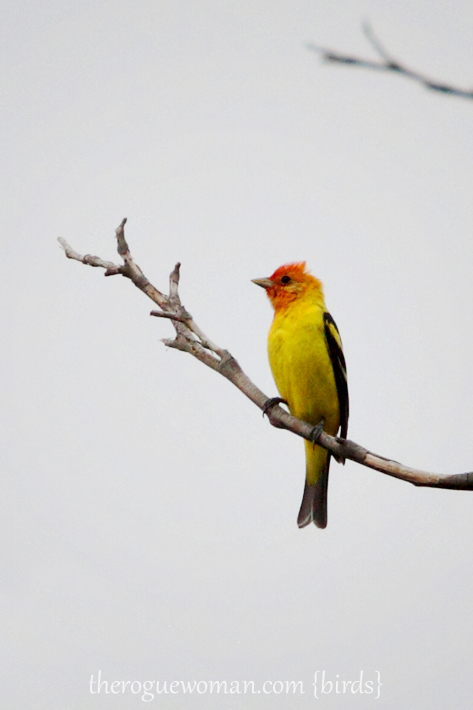 051412_08kenMallory_WesternTanager