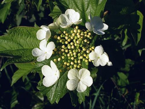 2012_0524HighbushCranberry0008 by maineman152 (Lou)
