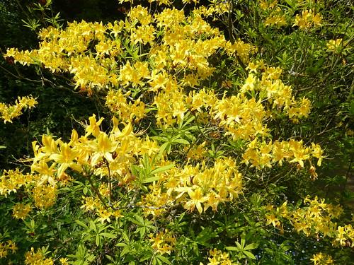 Newby Hall gardens Azalea