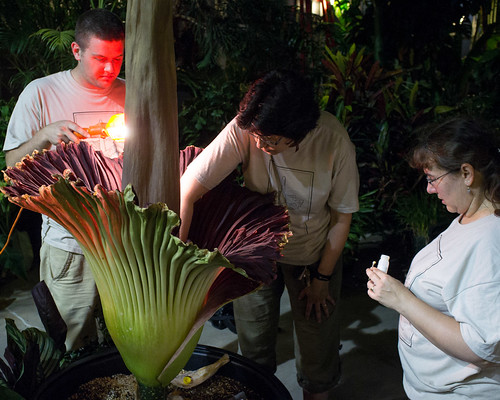 Pollinating a Titan Arum 1 by Stephen A. Wolfe