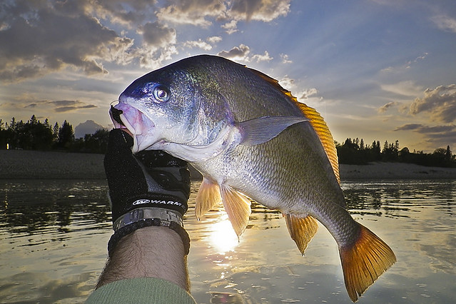 Fly fishing silver bass lockport mb canada flickr for Silver bass fish
