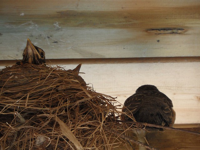 May 28-3 Robin chicks leaving their nest-6