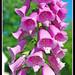 Spring flowers of Virginia