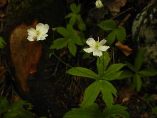 Ranunculus aconitifolius=Renoncule à feuilles d'aconit