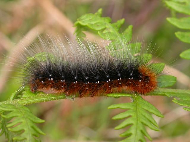 Tiger Moth Caterpillar - Bing images