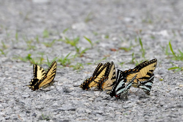 Eastern Tiger and Zebra Swallowtails