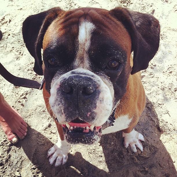 Anche i boxer amano stare in spiaggia
